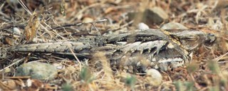 The fascinating Red-necked Nightjar Caprimulgus ru...
